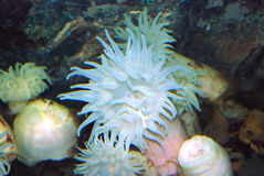 Sea anemone Stock Photo