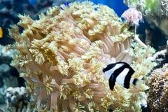 Sea anemone royalty free stock photography