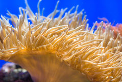 Sea anemone. Which is home for the clown fish Stock Photo