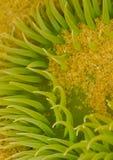Sea Anemone. A sea anemone closeup macro from a tide pool at Canon Beach Stock Photos