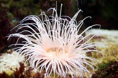 Sea anemone. Predatory sea animal, looks like a flower Royalty Free Stock Photo