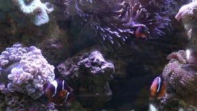 Sea Anemone and anemone fish Underwater, nature in aquarium. Sea Anemone and anemone fish Underwater nature in aquarium stock video