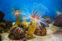 Sea anemone (anemone) with white tentacles in the aquarium Royalty Free Stock Photography