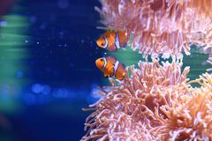 Sea anemone and Anemonefish. Sea anemones are a group of water-dwelling, predatory animals of the order Actiniaria. They are named for the anemone, a terrestrial Stock Images