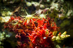 Sea anemone in aquarium. Actiniaria Royalty Free Stock Photo