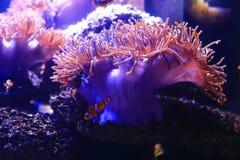 Sea anemone in aquarium Royalty Free Stock Photos