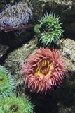 Sea anemone in aquarium in Spain. royalty free stock image