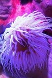 Sea anemone. Beautiful bright fluorescent sea anemone Stock Photo