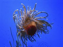 Sea Anemone in blue water Royalty Free Stock Photography