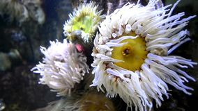 Sea anemone. Can be found in deep waters and along coastal waters stock video