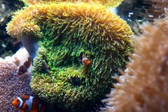 Sea Anemone with Clown Fish. In it Royalty Free Stock Photo
