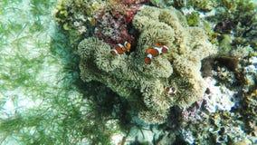 Sea anemone and clown fish stock video