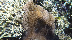Sea anemone and clown fish. Clownfish on the soft coral, blue anemone.Many reef fish in the tropical sea on a coral reef.tropical underwater world.Diving and stock video