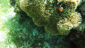 Sea anemone and clown fish. Clownfish on the soft coral, blue anemone.Many reef fish in the tropical sea on a coral reef.tropical underwater world.Diving and stock footage