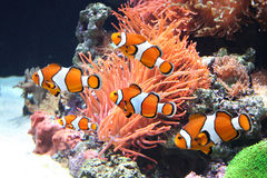 Sea anemone and clown fish Royalty Free Stock Image