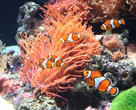 Sea anemone and clown fish Royalty Free Stock Photo