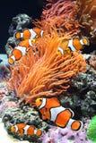 Sea anemone and clown fish. In marine aquarium royalty free stock photo