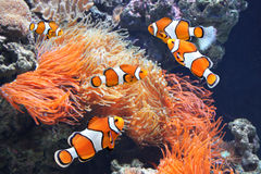 Sea anemone and clown fish. In marine aquarium royalty free stock photos