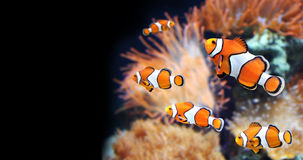 Sea anemone and clown fish. In marine aquarium. On black background royalty free stock image