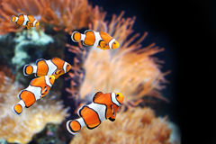 Sea anemone and clown fish Stock Photography