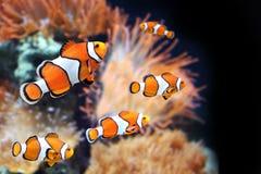 Sea anemone and clown fish. In marine aquarium. On black background royalty free stock photos