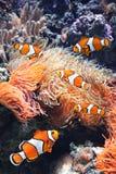 Sea anemone and clown fish. In marine aquarium. On black background stock photos