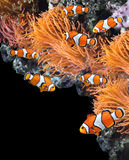 Sea anemone and clown fish. In marine aquarium. On black background with copy space stock image