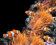 Sea anemone and clown fish. In marine aquarium. On black background with copy space royalty free stock photos
