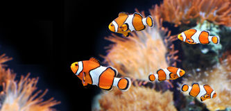 Sea anemone and clown fish. In marine aquarium. On black background. Copy space for your text stock images