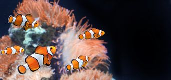 Sea anemone and clown fish. In marine aquarium on black background. Mock up template. Copy space for text royalty free stock photos