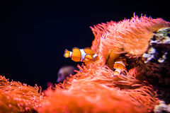 Sea anemone and clown fish in marine aquarium. On black background stock photo