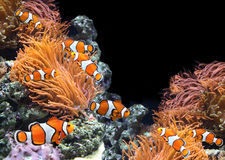 Sea anemone and clown fish. In marine aquarium. On black background witn copy space stock photo