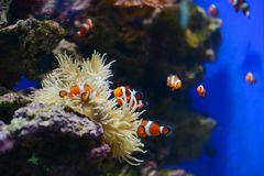 Sea anemone and clown fish in marine aquarium. Blue background royalty free stock photography