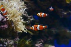 Sea anemone and clown fish in marine aquarium. Blue background. Sea anemone and clown fish in marine aquarium stock image