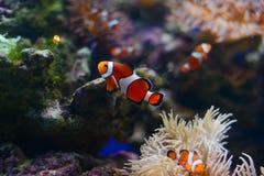 Sea anemone and clown fish in marine aquarium. Blue background. Sea anemone and clown fish in marine aquarium stock photography