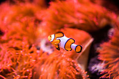 Sea anemone and clown fish in marine aquarium. On black background royalty free stock photography