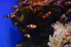 Sea anemone and clown fish in marine aquarium. Blue background. Sea anemone and clown fish in marine aquarium royalty free stock photography