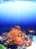 Sea anemone and clown fish. In ocean stock image