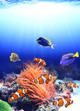 Sea anemone and clown fish. In ocean royalty free stock photography