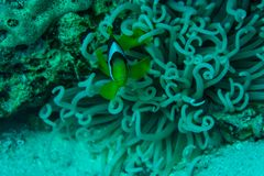 Sea anemone and clown fish in reef coral red sea underwater. Sea anemone and clown fish in reef coral red sea royalty free stock photos