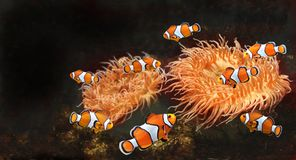 Sea anemone and clown fish. In marine aquarium. Isolated on black background. Copy space for text. Mock up template stock photo