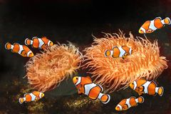 Sea anemone and clown fish Royalty Free Stock Images
