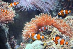 Sea anemone and clown fish. Tropical sea anemone and clown fish Amphiprion percula in marine aquarium stock photos