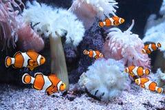 Sea anemone and clown fish. Tropical sea anemone and clown fish Amphiprion percula in marine aquarium stock photography