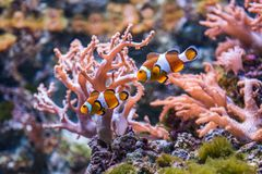 Sea anemone and clown fish. Tropical fishes stock photography