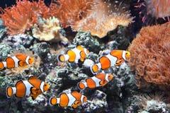 Sea anemone and clown fish. Tropical sea anemone and clown fish Amphiprion percula in marine aquarium royalty free stock photos