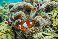Sea anemone and clown fish Royalty Free Stock Photos