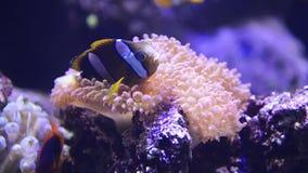 Sea anemone stock video footage