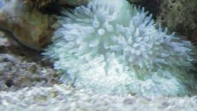 Sea Anemone cluster underwater. At aquarium stock video footage