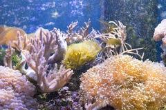 Sea anemone Condylactis gigantea underwater in the sea. Marine life sea anemone Condylactis gigantea underwater in the sea stock photos